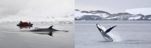 OOE Marine Mammals in Antarctica