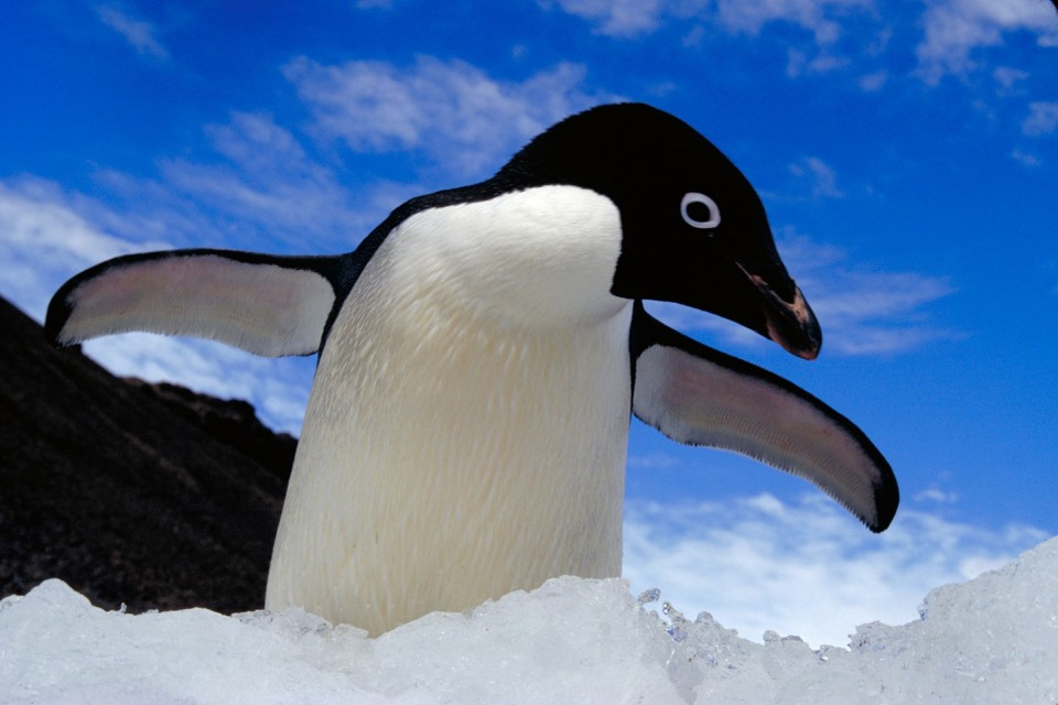 ron-naveen-penguin-counting-adelie-penguin-_mg_pcd5-374-adelie